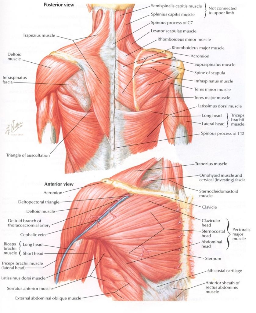 paraspinal muscles anatomy paraspinal muscles anatomy human anatomy library shoulder blade muscles chest muscles  [ 839 x 1024 Pixel ]