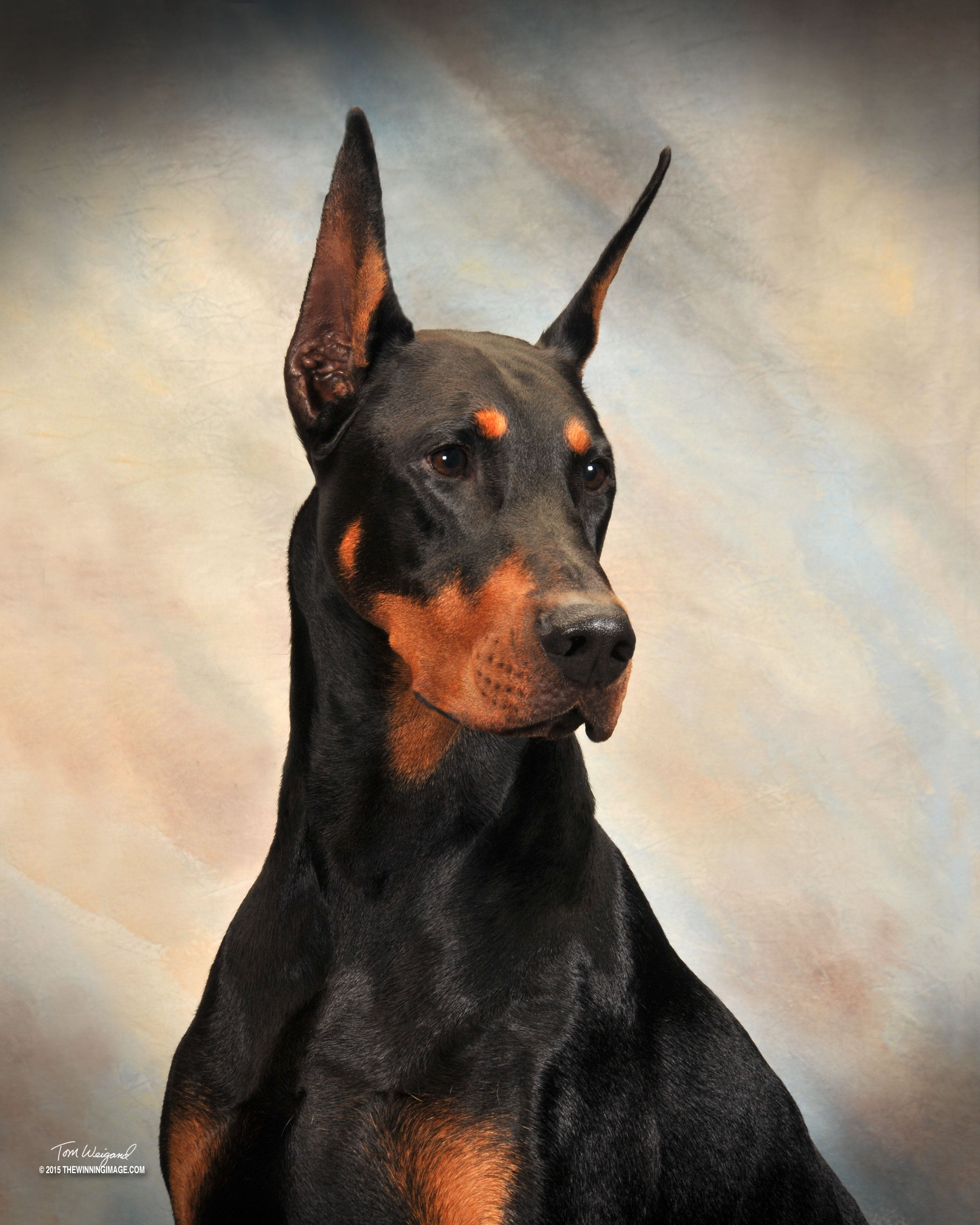 Ozzy Element Dobermans Doberman Pinscher Dog Interesting