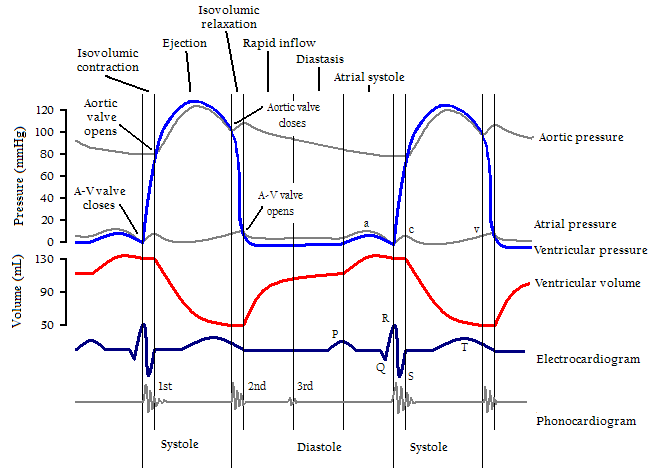 Wiggers diagram cardiac cycle wikipedia the free encyclopedia wiggers diagram cardiac cycle wikipedia the free encyclopedia ccuart Gallery