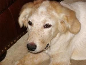 Adopt Rusty On Great Pyrenees Dog Foster Dog Great Pyrenees