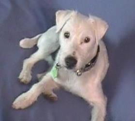 Adopt White Out On Parsons Terrier Terrier Dogs Terrier