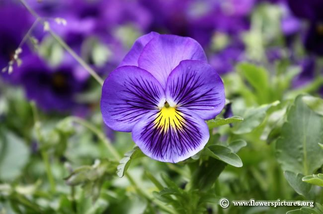 Pansy Pictures Pansy Flower Pictures Pansies Flowers Flower Pictures Types Of Purple Flowers