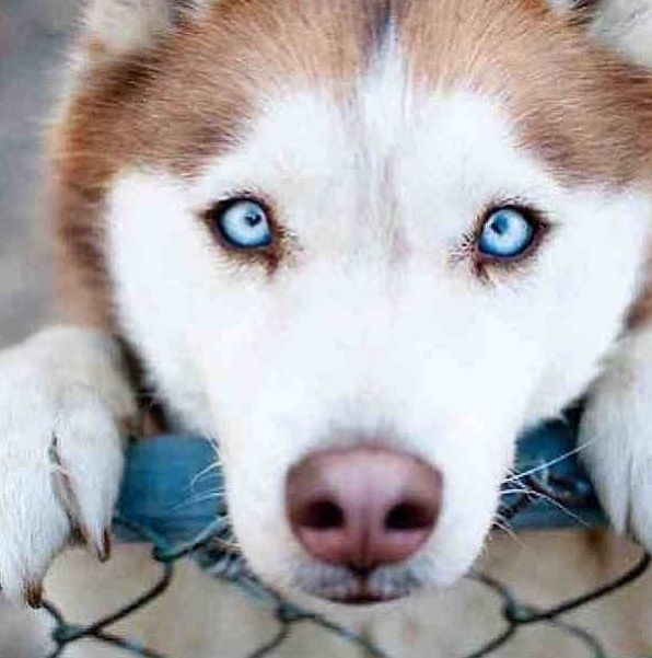 One Of My Dogs Eye Color Crystal Blue Gorgeous The Other One Has