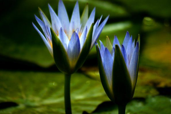 Egyptian Lotus Flower Blue Lotus Of The Nile The Narcotic Lily
