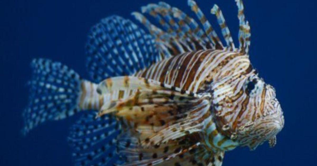 Lionfish threaten thousands of fishing jobs - marine biologist job description