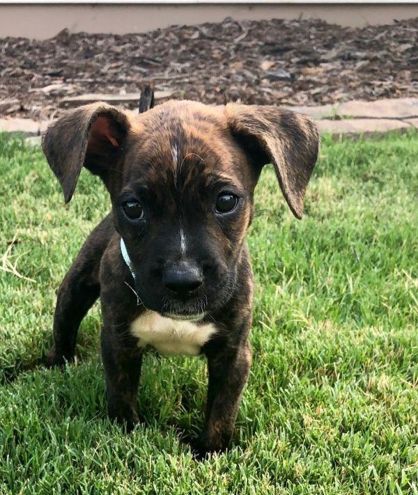 Tyson, adoptable Dog, Puppy Male Boxer Mix Dog adoption