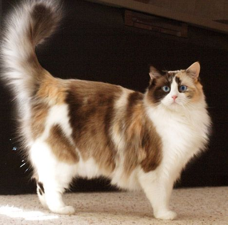 An Amazing Seal Tortie Bicolor Ragdoll Cat Cat Breeds Pretty Cats Cats