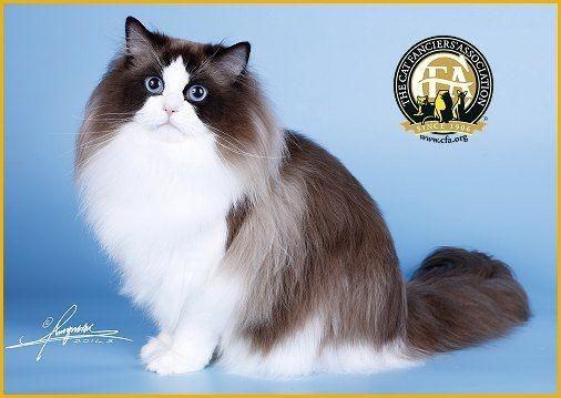 Gc Bw Nw Ragissa Lamlam Of Judys Dolls Seal Point White Male Ragdoll 6th Best Cat In China Ragdoll Cat Cats Ragdoll