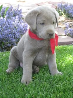 Silver Lab Puppy From Cimarron Silver Labs If I Got A Lab It Would Be Silver So Pretty Cute Animals Silver Lab Puppies Lab Puppy