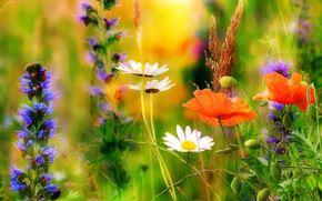 Wildflowers, Chamomile, Poppies, Macro, summer