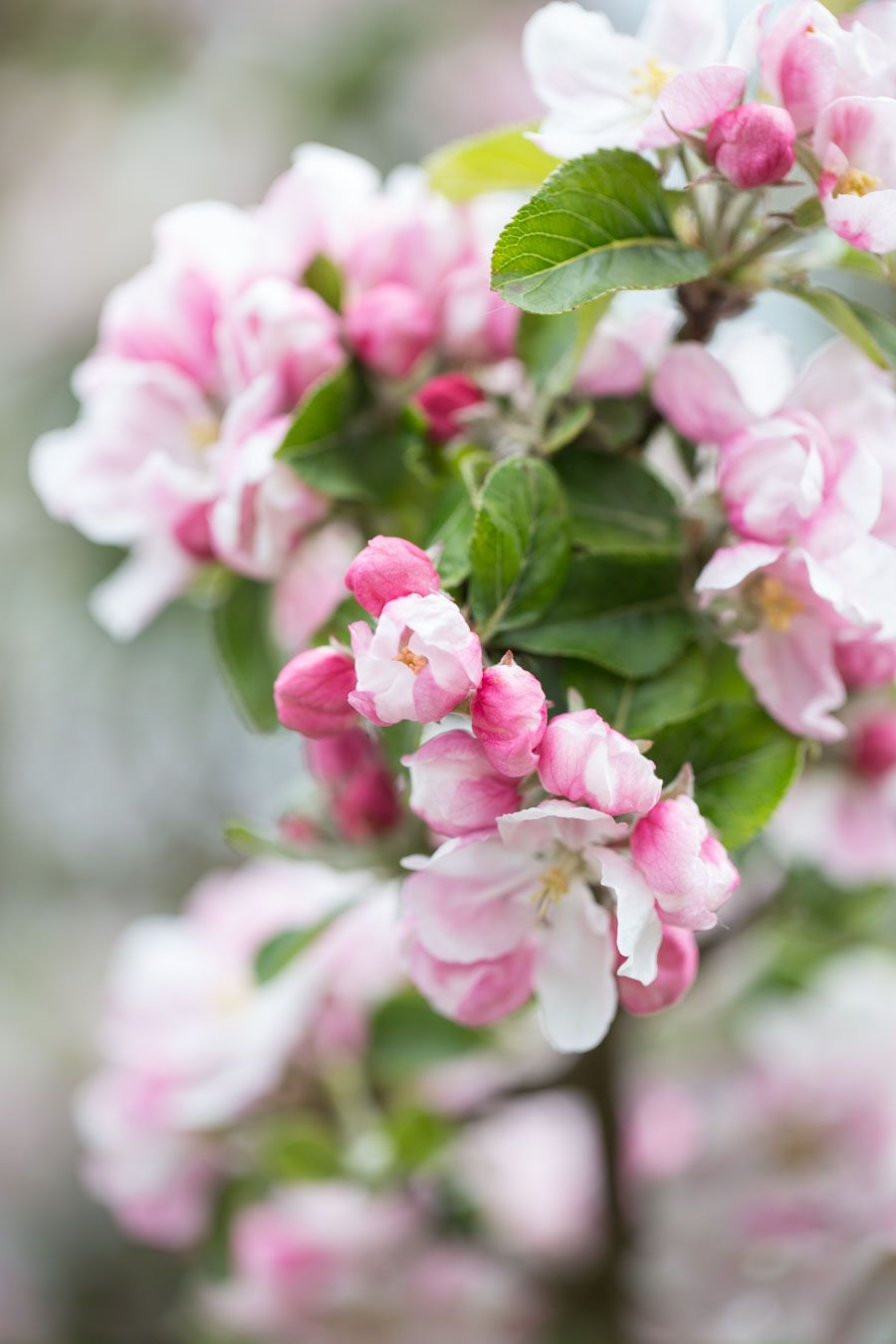 From Cottage Gardens To Historic Cider Orchards My Top Five Places To See Apple Trees In Bloom Around The Uk Add Blooming Apples Apple Blossom Blossom Trees