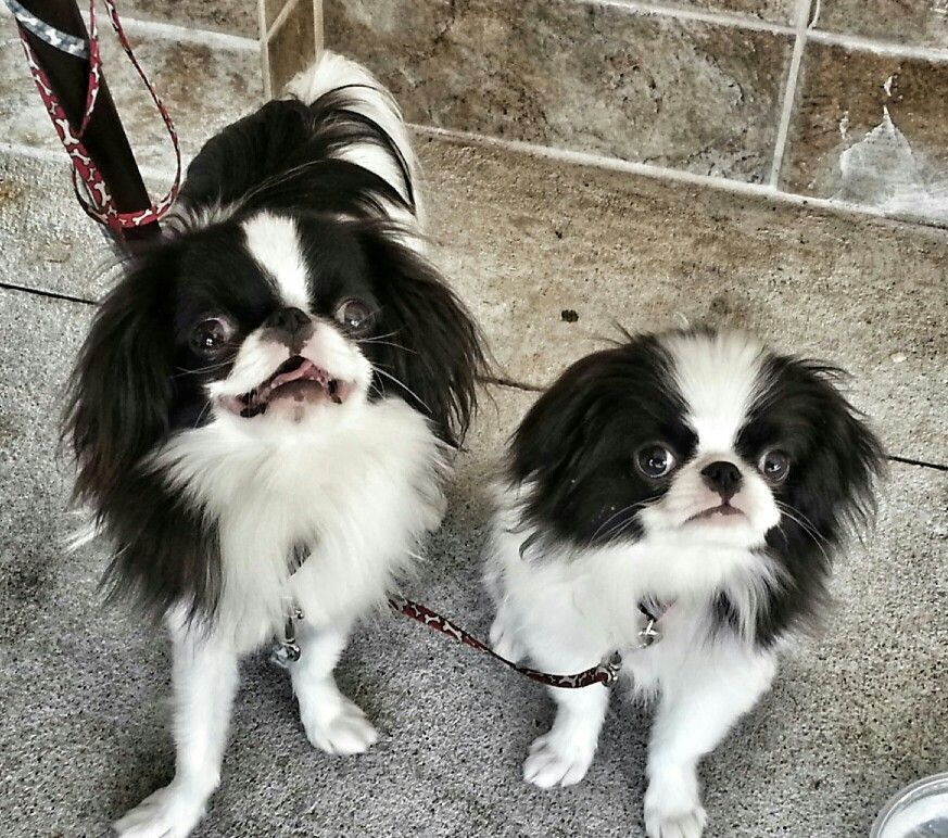 Skeeter and Tiny Japanese chin, Puppies, Pekingese