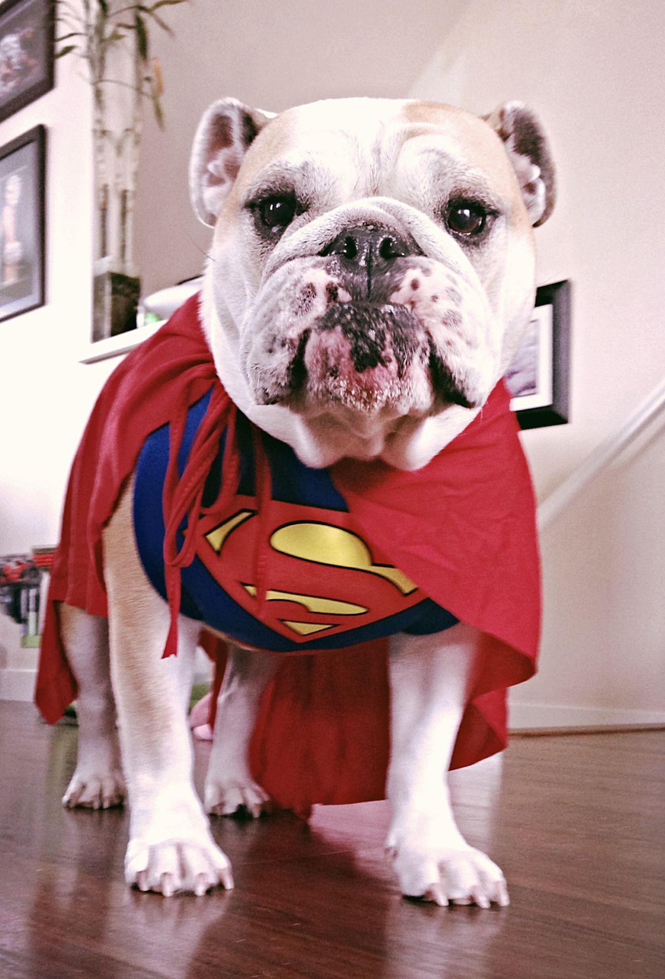 Superdog! - English Bulldog in a Superman costume ... Love animals ...