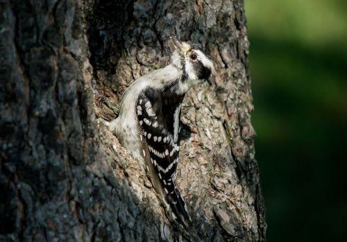 Lesser spotted woodpecker | by srdjanbaclija |...