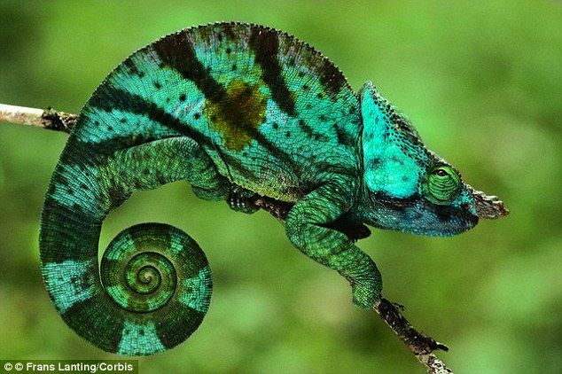6ff52fda25835df09deed2e7fe9b0bae - How To Get A Chameleon To Open Its Mouth