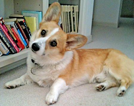 Moose The Corgi Moosecorgi Instagram Photos And Videos Welsh Corgi Puppies Corgi Dog Pembroke Welsh Corgi Puppies