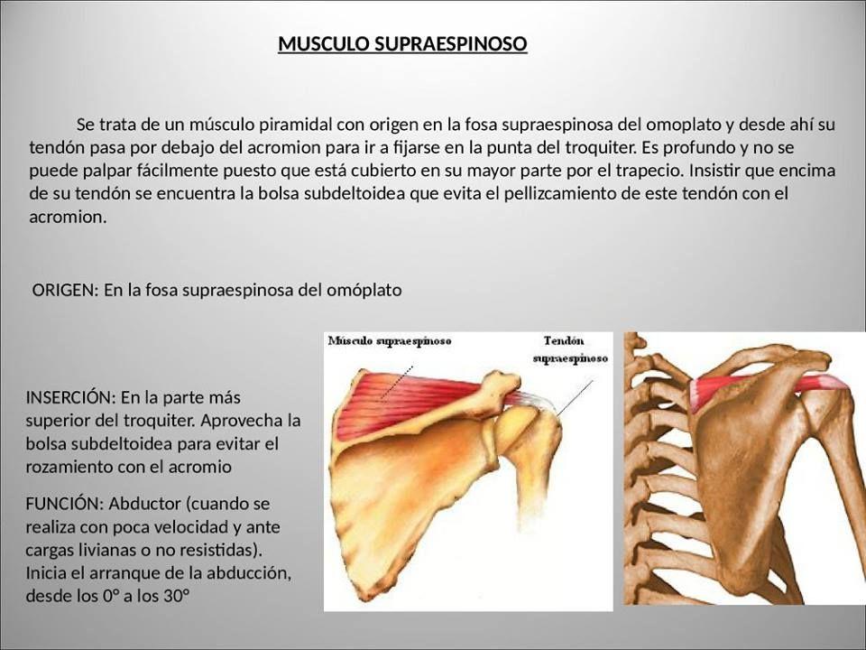 Pin de aregu en Anatomía | Pinterest | Músculos, Anatomía y Miembro