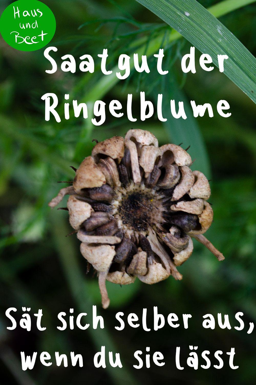 Ringelblume – Die Calendula blüht ohne viel Aufwand - Haus und Beet