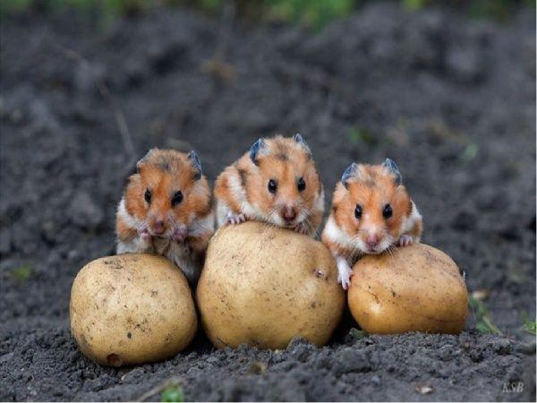 hamster patates