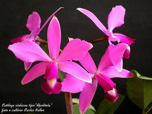 Tipo C.violacea 'Apollonia'