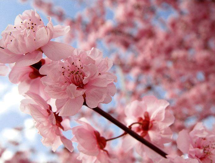 Cherry Blossoms Beautiful Pinterest Cherry Blossom Japan Cherry Blossom Flowers Sakura Cherry Blossom