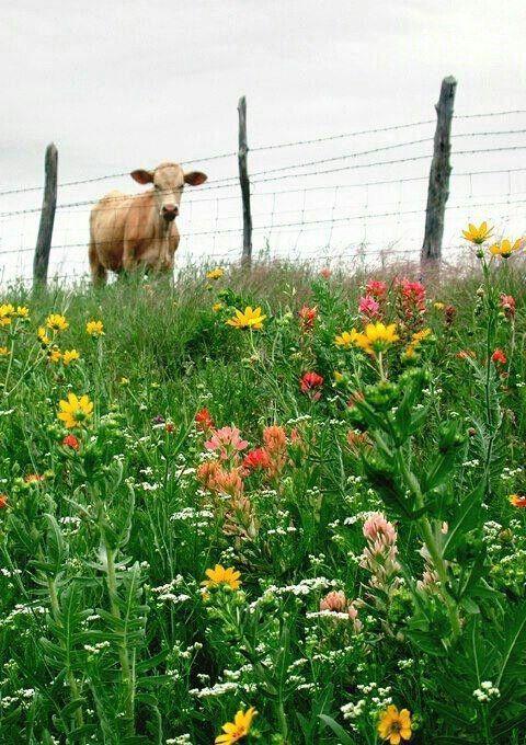 Moo Cow Animals Animals Animals Country Farm Farms Living