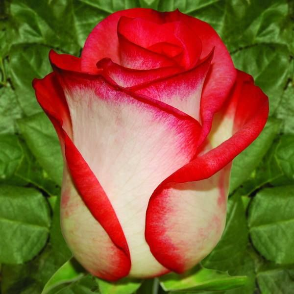 White rose with red tips my favorite flower for chris white rose with red tips my favorite flower mightylinksfo