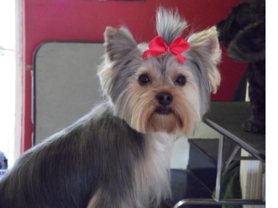 Tremendous Teddy Bear Yorkie Haircut Left Bobby Being Trimmed In Teddy Hairstyles For Women Draintrainus