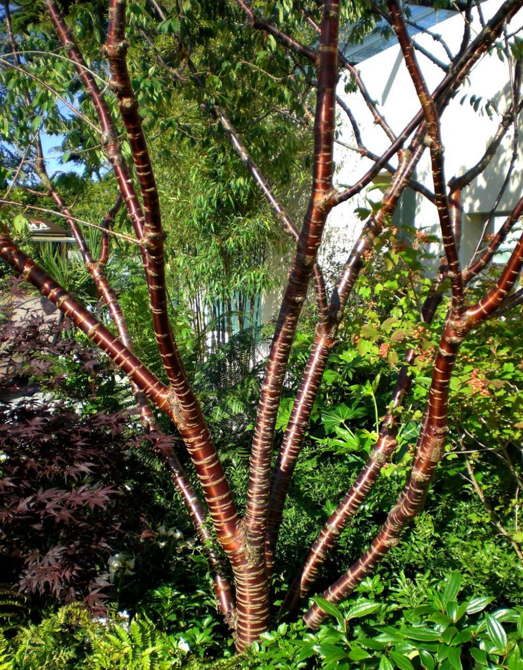 Trees With Colorful Barks Small Urban Garden Flowering Cherry Tree Ornamental Trees