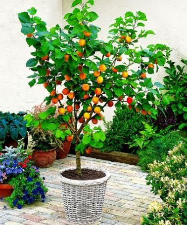The Best Dwarf Fruit Trees To Grow In Pots Fruit Gardening My Favthings Potted Trees Dwarf Fruit Trees Organic Fruit Trees