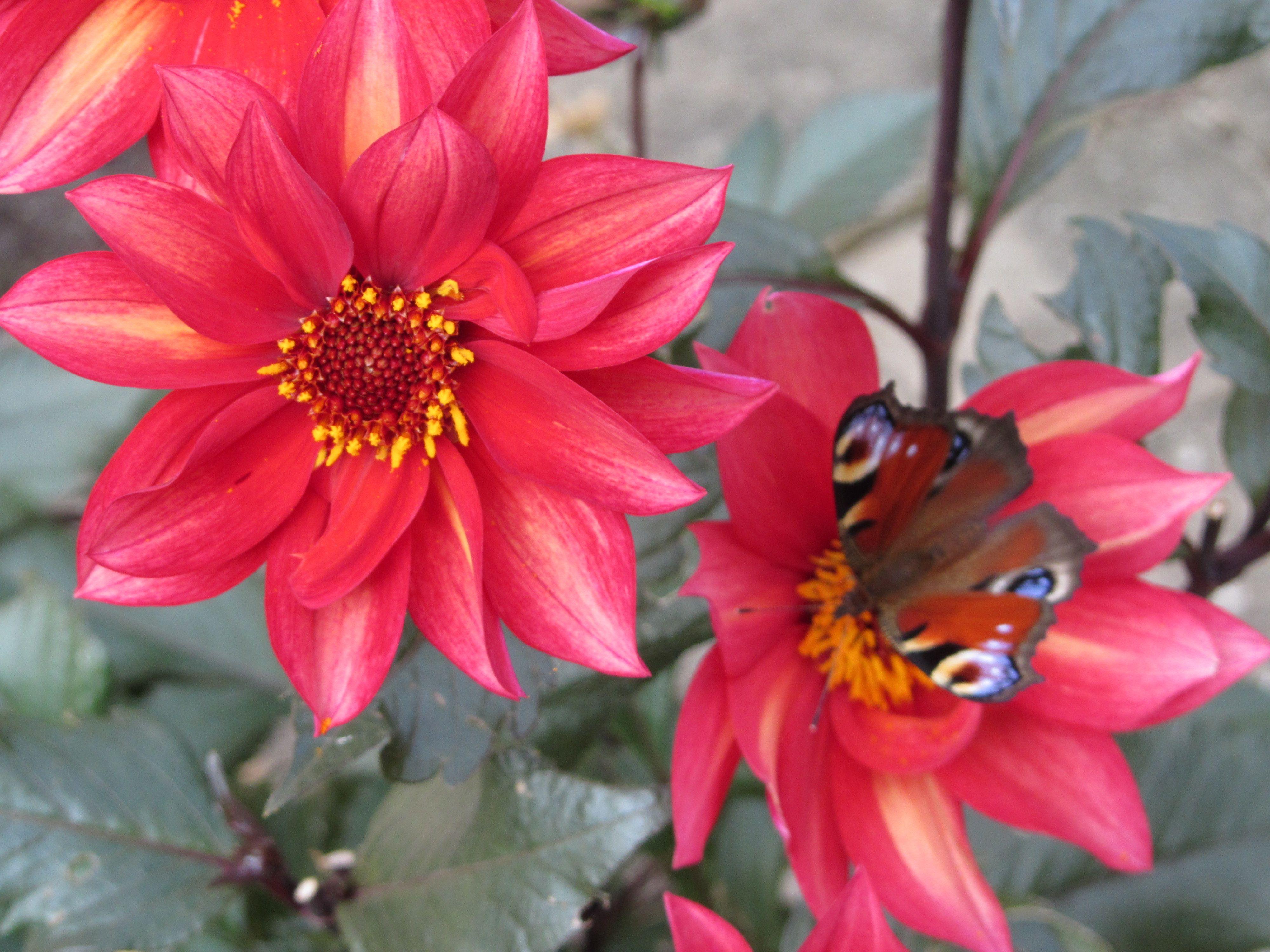 Dahlia waltzing mathilda mooie compacte dahlia voor in