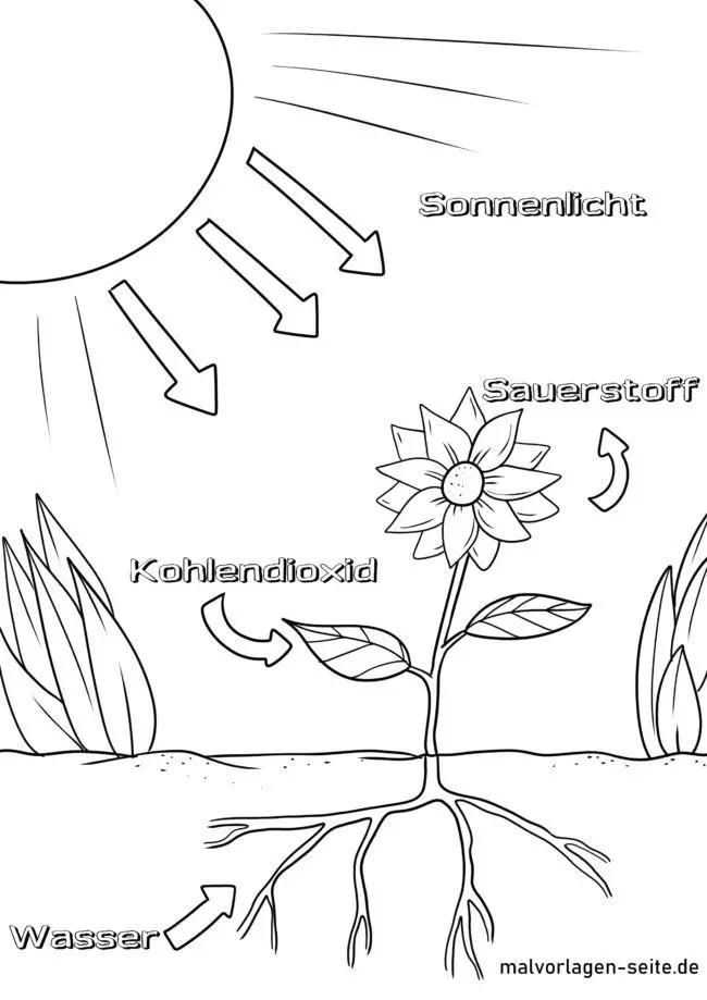 malvorlage photosynthese  umwelt natur kostenlose