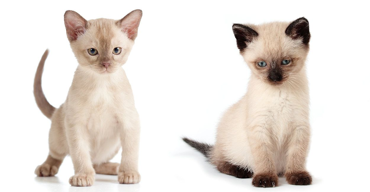 Burmese Vs Siamese The Happy Cat Site Helps You Choose Burmese Cat Cat Breeds Siamese Cats