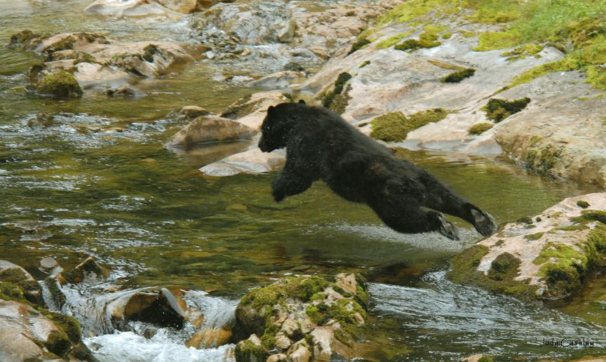 Alaska black bear diving for salmon prince of wales for Prince of wales island fishing