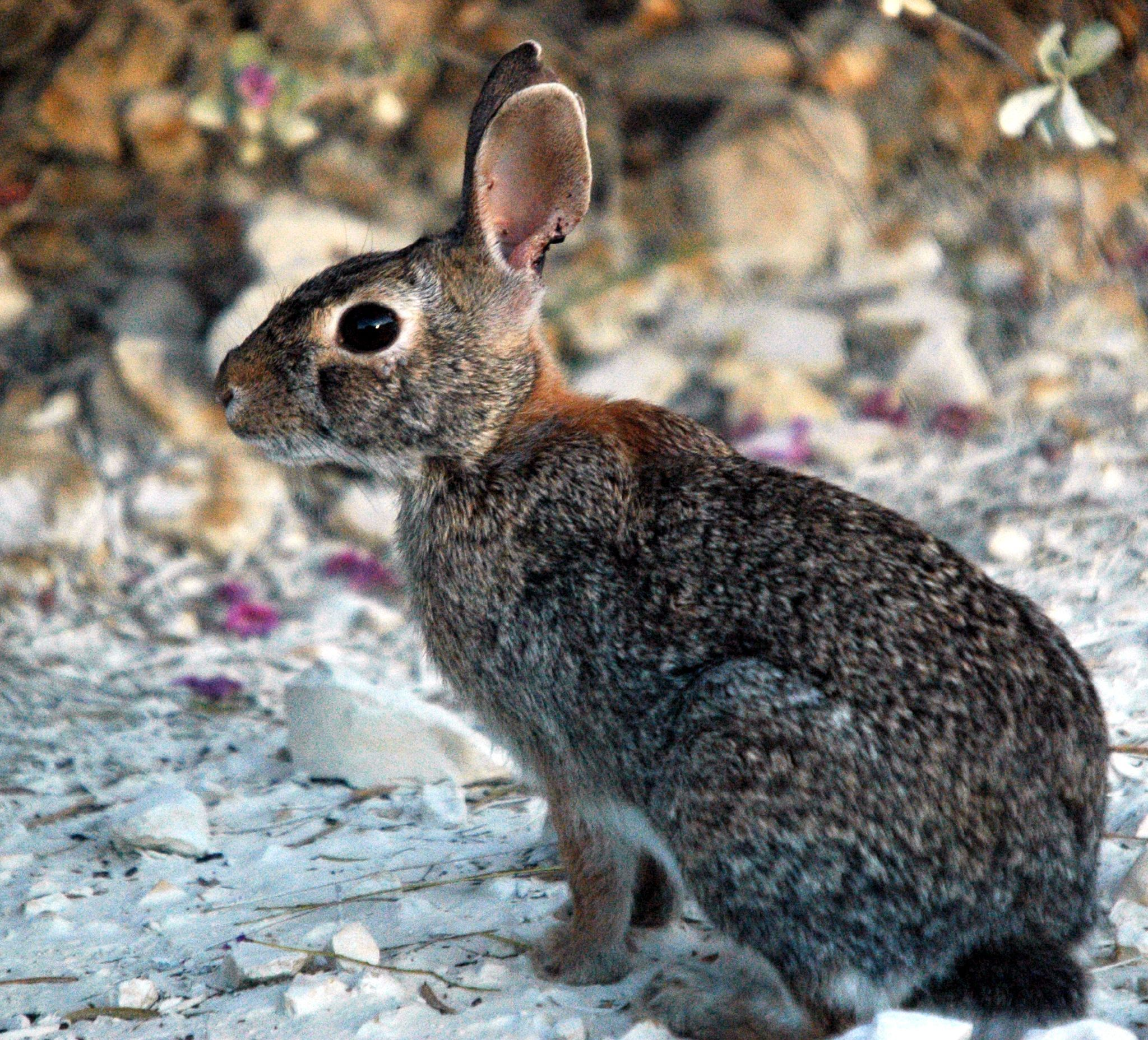 Cottontail rabbits also have stocky, compact bodies with short front ...
