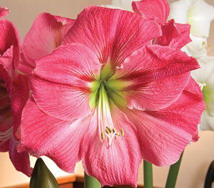 Amaryllis Candy Floss White Flower Farm Amaryllis Flowers Amaryllis