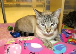 Hot N Sour Lynx Point Siamese Sweetheart Is An Adoptable Siamese Cat In Frisco Tx Hot N Sour Was Born In He Siamese Cats Your Best Friend Best Friends