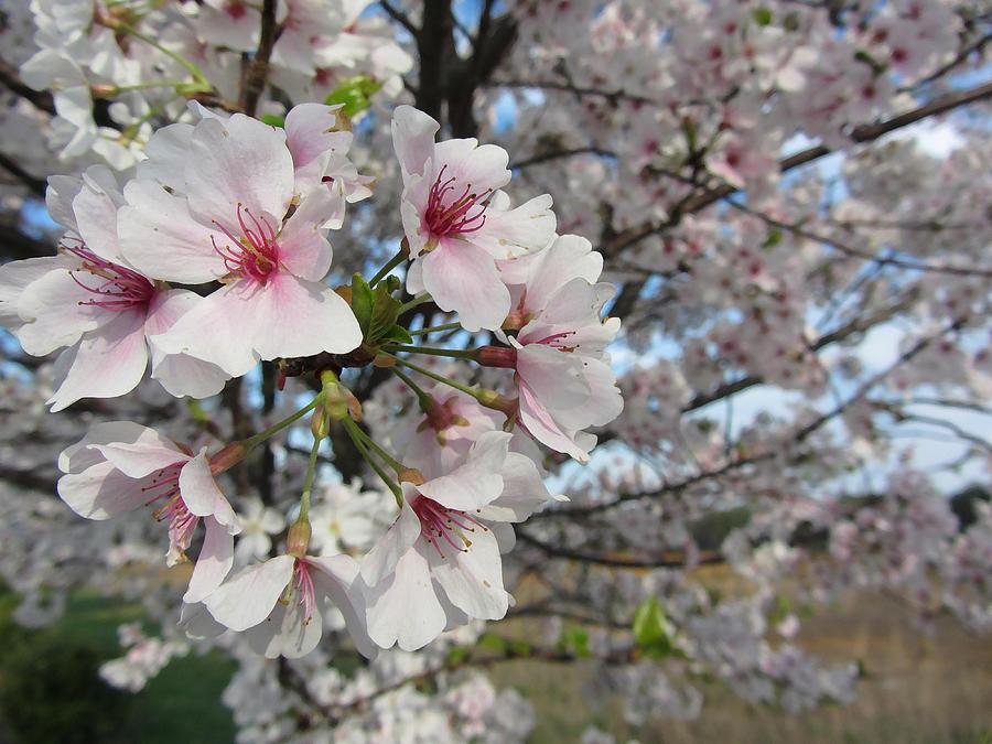 Yoshino Cherry Blossom At Duckduckgo In 2020 Yoshino Cherry Yoshino Cherry Tree Cherry Blossom