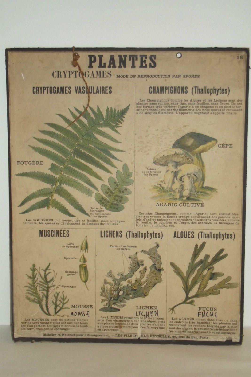 09a37 ancienne affiche scolaire deyrolle planche ecole n 18 sciences naturelles herbariumania. Black Bedroom Furniture Sets. Home Design Ideas