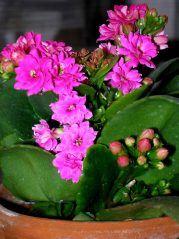 Цветок Каланхоэ (120+ Фото & Видео) — уход в домашних ...