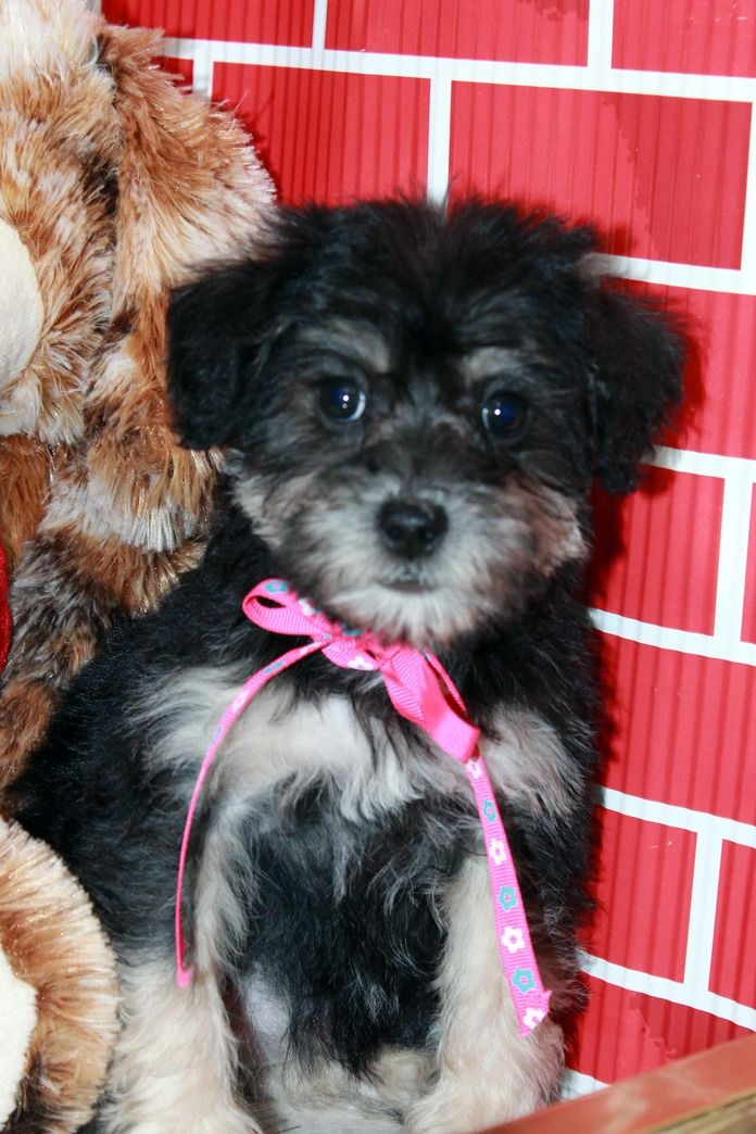 Just Put The Deposit Down On Our New Schnoodle Pup It S Going To Be A Long 3 Months Schnoodle Schnoodle Puppy Cute Puppies