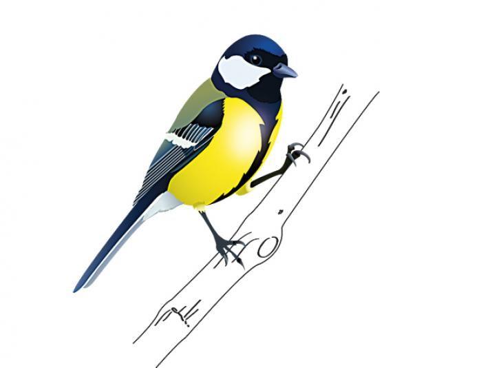 Oiseaux d 39 hiver le m sange charbonni re oiseaux for Oiseau ventre jaune