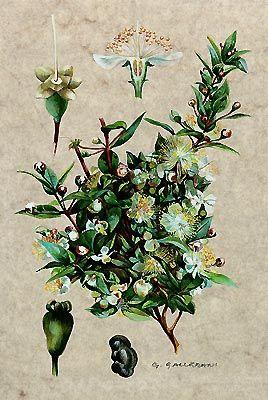 MIRTO - Myrtus communis