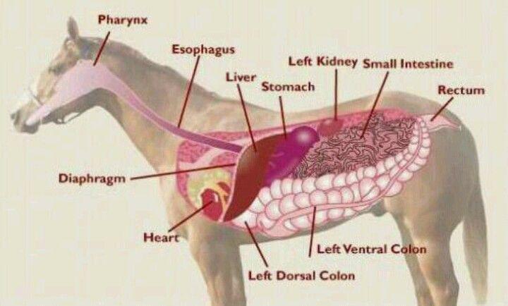 Horse Gi Anatomy Image Collections Human Body Anatomy