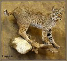 Cool Bobcat Mount Google Search Mounts Pinterest
