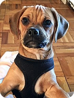 2 27 17 Nyc Ny Beagle Pug Mix Meet Watson Baby Puggle A Puppy
