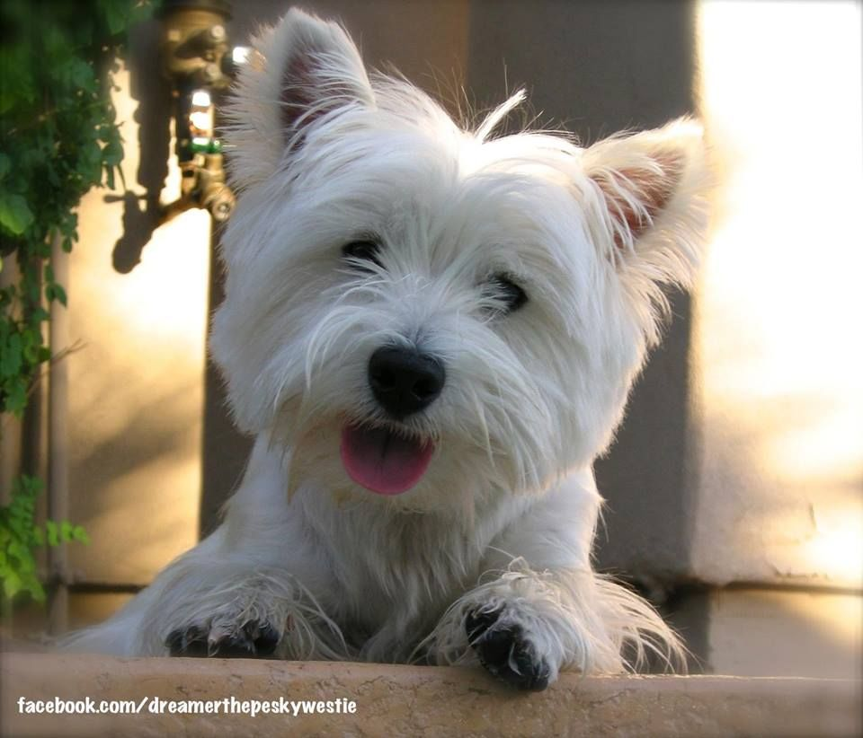 CUTEST WESTIE EVER (With images) Westie dogs, Westie