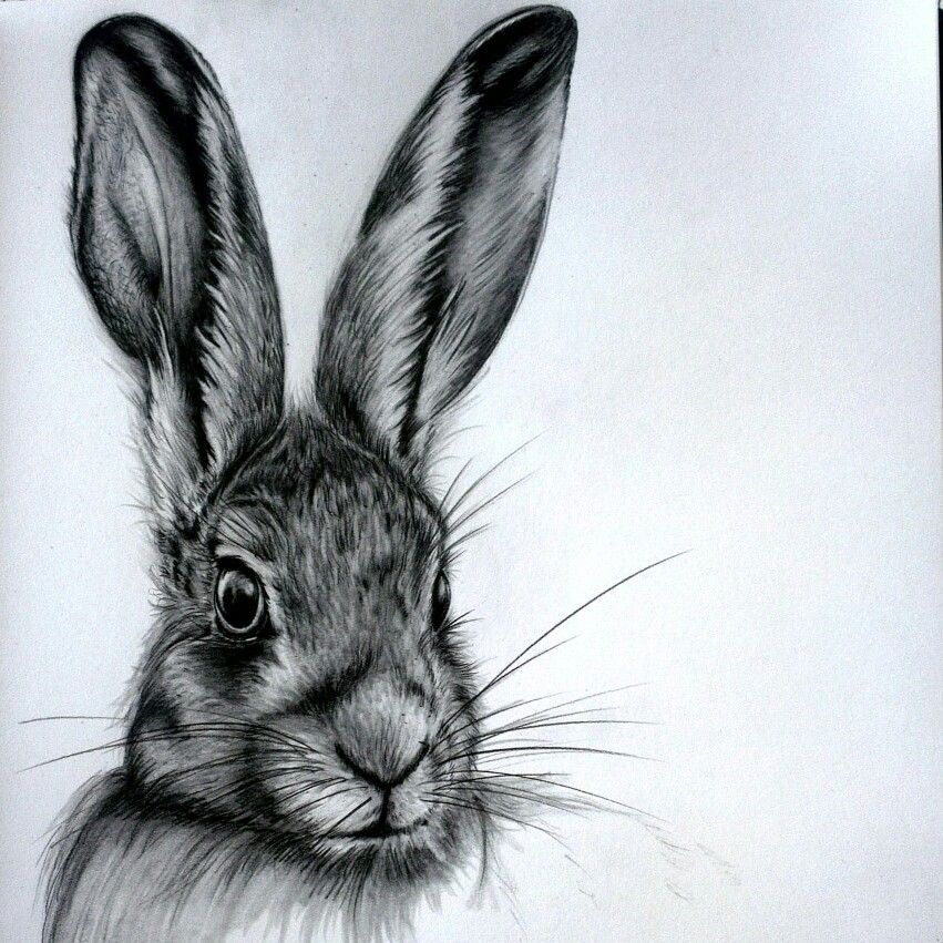 Hare graphite sketch   Rabbit drawing, Pencil drawings of ...