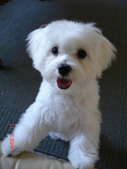 Otis S New Haircut Maltese Dogs Forum Maltese Dogs Haircuts Maltese Dogs Maltese Haircut