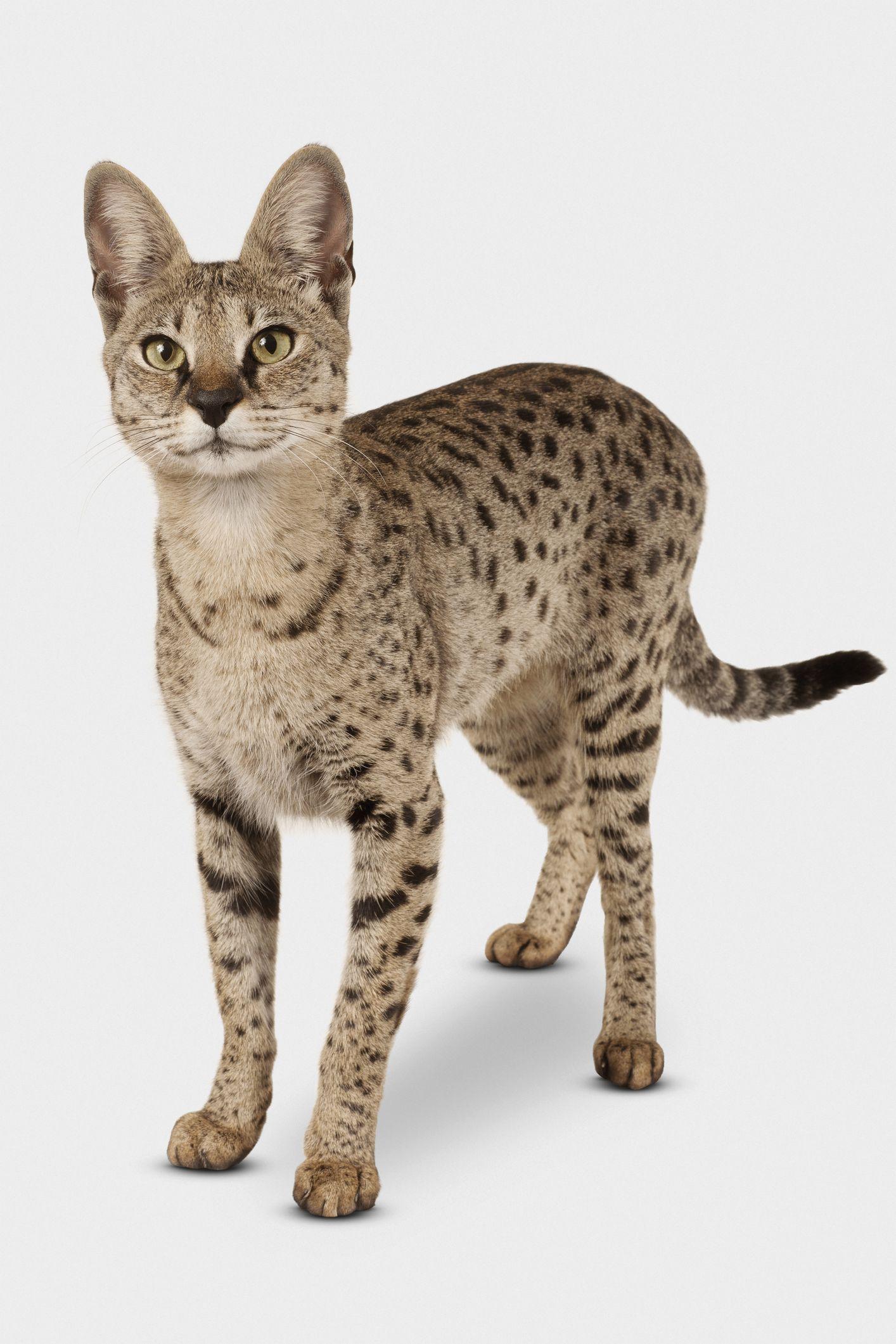 Hybrid Cats That Evoke Their Wild Cousins Cat breeds